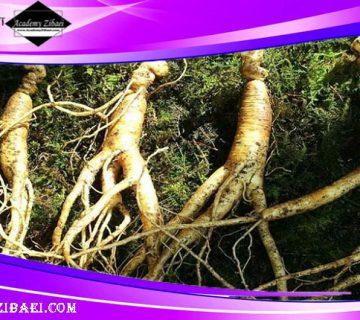 فواید گیاه جینسینگ برای رشد مو 🌿